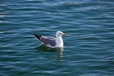 Free Seagull In The Water Stock Image - 21040711