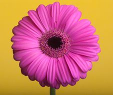 Free Pink Gerbera On A Yellow Background. Stock Photo - 21040770
