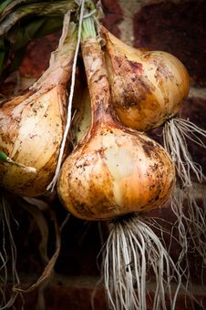 Free Onions Royalty Free Stock Photography - 21041577