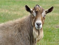 Free Goat Royalty Free Stock Images - 21041989