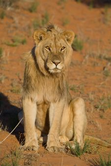 Free Young Male Lion Stock Photos - 21042583