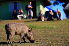 Watching A Warthog Stock Photos