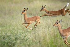 Free Jumping Impalas Stock Photos - 21043493