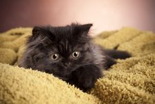 Free Young Cat Royalty Free Stock Image - 21044326