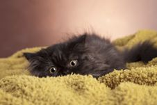 Free Young Cat Royalty Free Stock Photos - 21044328