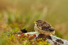 Free Meadow Pipit Royalty Free Stock Images - 21046089