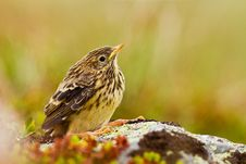 Free Meadow Pipit Stock Photography - 21046102
