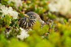 Free Meadow Pipit Royalty Free Stock Photos - 21046108
