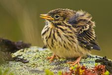 Free Meadow Pipit Stock Photography - 21046112