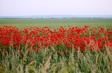 Field Full Of Poppies Flowers Royalty Free Stock Images