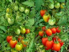 Free Four Stages Of Tomatoes Ripening Stock Photography - 21046862