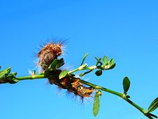 Free Multi-colored Fluffy Caterpillar Royalty Free Stock Photo - 21047035