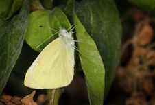 Free Yellow Pieris Brassicae Butterfly Royalty Free Stock Photos - 21047418