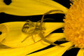 Free Spider On Yellow Flower Royalty Free Stock Image - 21052236
