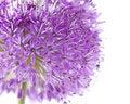 Free Allium Close-up Stock Photo - 21053860