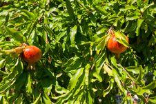 Free Ripe Pomegranates On The Tree. Stock Photo - 21050620