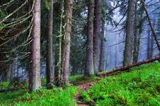 Coniferous Wood Royalty Free Stock Images