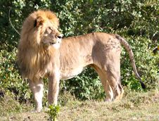 Free Lion Looking In Infinite Stock Photo - 21053090