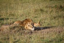 Free Lion Waking Up Royalty Free Stock Photos - 21053098