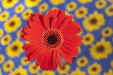Free Red Gerbera Royalty Free Stock Photos - 21053128