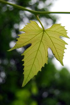 Free Vine Leaf Stock Photos - 21053283