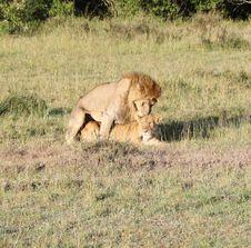 Free Loving Lion Couple In Kenya Royalty Free Stock Photos - 21053408