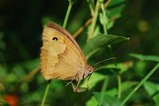 Free Light Brown Butterfly Royalty Free Stock Images - 21053469