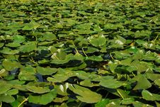 Free Danube Delta Lilies Stock Photos - 21053713