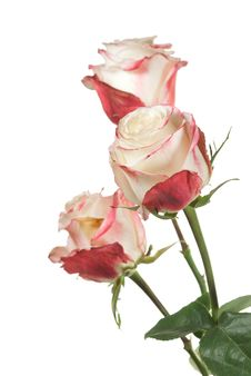 Free White Roses On White Royalty Free Stock Images - 21055269