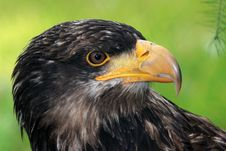 Free Eagle Stock Images - 21055734