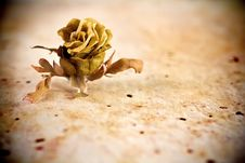 Free Dried Rose. Stock Images - 21056964