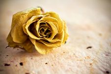 Free Dried Rose. Stock Photography - 21057092