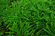 Free Young Evergreen Trees Royalty Free Stock Image - 21057376