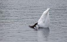 Free Upsidedown Swan Royalty Free Stock Image - 21057436