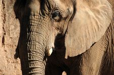 Free Elephant Royalty Free Stock Photos - 21057528