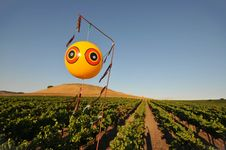Free Field Of Wine Grapes With Balloon Royalty Free Stock Image - 21060946