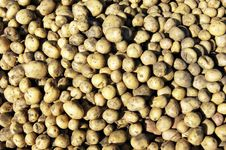 Free Harvest Of The Collected Potatoes Stock Image - 21061491