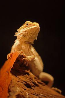Free Bearded Dragon Stock Photography - 21062342