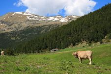 Free Cow In The Mountains Stock Photo - 21062550