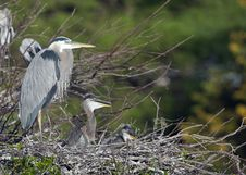 Free Great Blue Heron (Ardea Herodias) Stock Image - 21062721