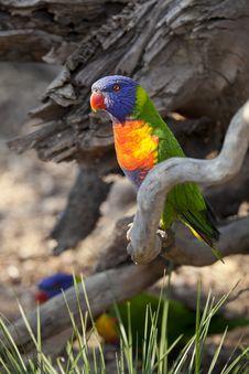Free Rainbow Lorikeet, Trichoglossus Haematodus Royalty Free Stock Images - 21062749