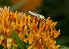 Free Ailanthus Webworm, Atteva Aurea Stock Image - 21062751