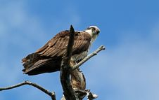 Free Osprey (pandion Haliaetus) Closeup Stock Images - 21063614