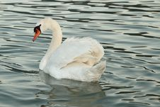 Free Beautiful White Swan Royalty Free Stock Photography - 21063957