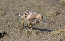 Free Buff-breasted Sandpiper (Tryngites Subrufieollis) Royalty Free Stock Photo - 21064795