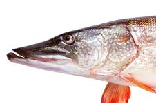 Fish Pike Royalty Free Stock Images