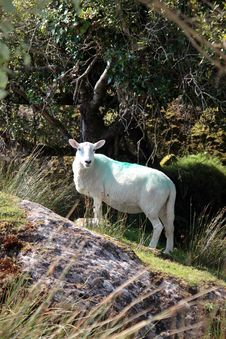 Free Sheep Among Trees On Rocky Hill Royalty Free Stock Photography - 21066537