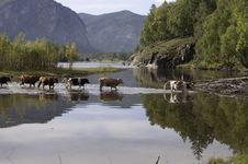 Free Cows Gor Across River Royalty Free Stock Photography - 21066597