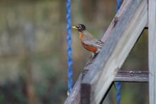 Free American Robin On Stairs To Playground Stock Photos - 210639613