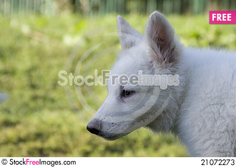 Free White Swiss Sheep-dog_9 Stock Photos - 21072273